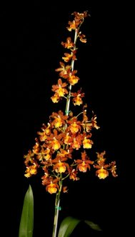 Oncostele Catalante 'Kilauea Karma', orchid, orchids, cymbidium, cymbidium kimberly splash, tee pee, south east Melbourne, Melbourne, orchid clubs, orchid societies, OSCOV, orchid photos, orchid care, orchid pictures, orchid images, orchid shows, orchid newsletters, orchids on Facebook, orchids of Twitter, Moorabbin, Bentleigh, Brighton, Hampton, Sandringham, Black Rock, Beaumaris, Bayside Council, Bayside district, Kingston, Bayside Melbourne, SE Suburbs, Parkdale, Mordialloc, Carnegie, Cheltenham, McKinnon, Highett, Oakleigh, Clarinda, Heatherton, Clayton, Dingley, Elsternwick, Caulfield, Ormond, Glenhuntley, Murrumbeena,