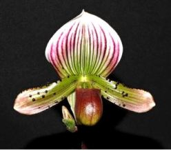 Paphiopedilum Double Arrow x Jazz, orchid, orchids, cymbidium, cymbidium kimberly splash, tee pee, south east Melbourne, Melbourne, orchid clubs, orchid societies, OSCOV, orchid photos, orchid care, orchid pictures, orchid images, orchid shows, orchid newsletters, orchids on Facebook, orchids of Twitter, Moorabbin, Bentleigh, Brighton, Hampton, Sandringham, Black Rock, Beaumaris, Bayside Council, Bayside district, Kingston, Bayside Melbourne, SE Suburbs, Parkdale, Mordialloc, Carnegie, Cheltenham, McKinnon, Highett, Oakleigh, Clarinda, Heatherton, Clayton, Dingley, Elsternwick, Caulfield, Ormond, Glenhuntley, Murrumbeena,