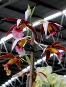 Phaius tankervilleae, orchid, orchids, cymbidium, cymbidium kimberly splash, tee pee, south east Melbourne, Melbourne, orchid clubs, orchid societies, OSCOV, orchid photos, orchid care, orchid pictures, orchid images, orchid shows, orchid newsletters, orchids on Facebook, orchids of Twitter, Moorabbin, Bentleigh, Brighton, Hampton, Sandringham, Black Rock, Beaumaris, Bayside Council, Bayside district, Kingston, Bayside Melbourne, SE Suburbs, Parkdale, Mordialloc, Carnegie, Cheltenham, McKinnon, Highett, Oakleigh, Clarinda, Heatherton, Clayton, Dingley, Elsternwick, Caulfield, Ormond, Glenhuntley, Murrumbeena,