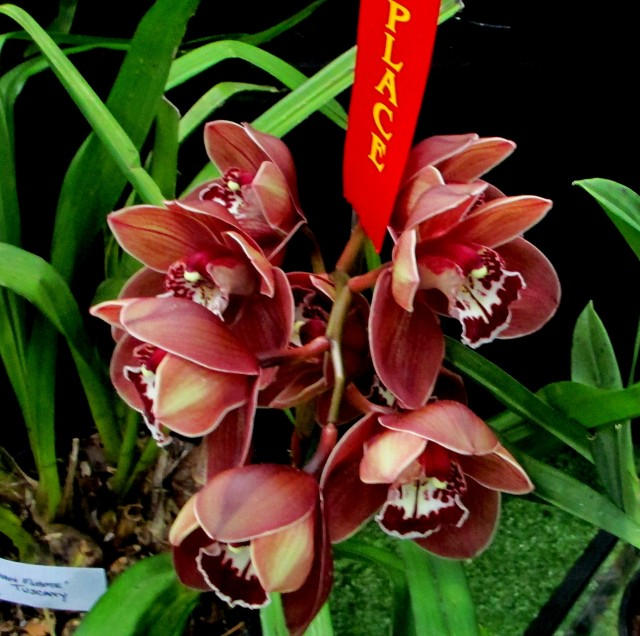 Cymbidium Khan Flame 'Tuscany', orchid, orchids, cymbidium, cymbidium kimberly splash, tee pee, south east Melbourne, Melbourne, orchid clubs, orchid societies, OSCOV, orchid photos, orchid care, orchid pictures, orchid images, orchid shows, orchid newsletters, orchids on Facebook, orchids of Twitter, Moorabbin, Bentleigh, Brighton, Hampton, Sandringham, Black Rock, Beaumaris, Bayside Council, Bayside district, Kingston, Bayside Melbourne, SE Suburbs, Parkdale, Mordialloc, Carnegie, Cheltenham, McKinnon, Highett, Oakleigh, Clarinda, Heatherton, Clayton, Dingley, Elsternwick, Caulfield, Ormond, Glenhuntley, Murrumbeena,