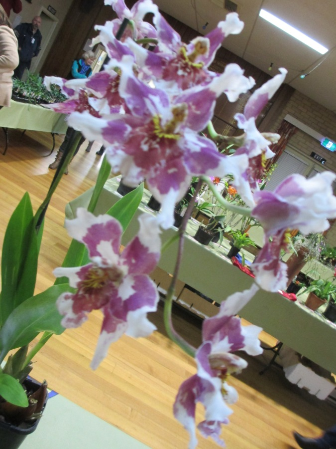 Three Club Invitational Challenge 2017, orchid, orchids, cymbidium, cymbidium kimberly splash, tee pee, south east Melbourne, Melbourne, orchid clubs, orchid societies, OSCOV, orchid photos, orchid care, orchid pictures, orchid images, orchid shows, orchid newsletters, orchids on Facebook, orchids of Twitter, Moorabbin, Bentleigh, Brighton, Hampton, Sandringham, Black Rock, Beaumaris, Bayside Council, Bayside district, Kingston, Bayside Melbourne, SE Suburbs, Parkdale, Mordialloc, Carnegie, Cheltenham, McKinnon, Highett, Oakleigh, Clarinda, Heatherton, Clayton, Dingley, Elsternwick, Caulfield, Ormond, Glenhuntley, Murrumbeena,