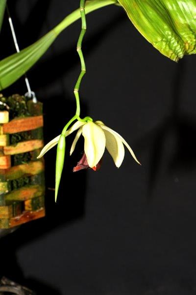 Anybenera coelogyne vsitana, orchids, cymbidium, cymbidium kimberly splash, tee pee, south east Melbourne, Melbourne, orchid clubs, orchid societies, OSCOV, orchid photos, orchid care, orchid pictures, orchid images, orchid shows, orchid newsletters, orchids on Facebook, orchids of Twitter, Moorabbin, Bentleigh, Brighton, Hampton, Sandringham, Black Rock, Beaumaris, Bayside Council, Bayside district, Kingston, Bayside Melbourne, SE Suburbs, Parkdale, Mordialloc, Carnegie, Cheltenham, McKinnon, Highett, Oakleigh, Clarinda, Heatherton, Clayton, Dingley, Elsternwick, Caulfield, Ormond, Glenhuntley, Murrumbeena,