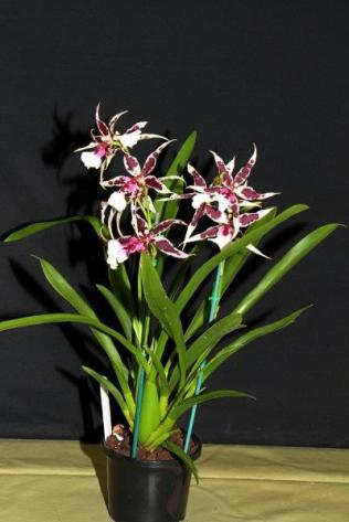 Beallara Gothic No3 seedling, orchids, cymbidium, cymbidium kimberly splash, tee pee, south east Melbourne, Melbourne, orchid clubs, orchid societies, OSCOV, orchid photos, orchid care, orchid pictures, orchid images, orchid shows, orchid newsletters, orchids on Facebook, orchids of Twitter, Moorabbin, Bentleigh, Brighton, Hampton, Sandringham, Black Rock, Beaumaris, Bayside Council, Bayside district, Kingston, Bayside Melbourne, SE Suburbs, Parkdale, Mordialloc, Carnegie, Cheltenham, McKinnon, Highett, Oakleigh, Clarinda, Heatherton, Clayton, Dingley, Elsternwick, Caulfield, Ormond, Glenhuntley, Murrumbeena,