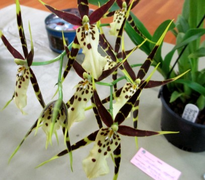 Bratitonia Shelob Tolkein, orchids, cymbidium, cymbidium kimberly splash, tee pee, south east Melbourne, Melbourne, orchid clubs, orchid societies, OSCOV, orchid photos, orchid care, orchid pictures, orchid images, orchid shows, orchid newsletters, orchids on Facebook, orchids of Twitter, Moorabbin, Bentleigh, Brighton, Hampton, Sandringham, Black Rock, Beaumaris, Bayside Council, Bayside district, Kingston, Bayside Melbourne, SE Suburbs, Parkdale, Mordialloc, Carnegie, Cheltenham, McKinnon, Highett, Oakleigh, Clarinda, Heatherton, Clayton, Dingley, Elsternwick, Caulfield, Ormond, Glenhuntley, Murrumbeena,