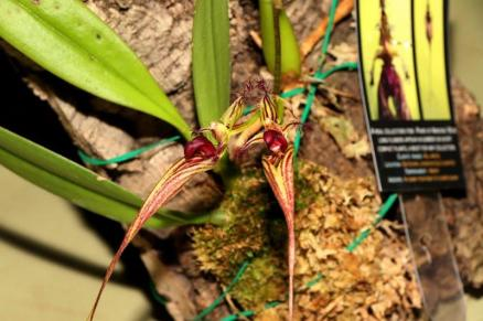 bulbophyllum ornatissimum x putidum, orchids, cymbidium, cymbidium kimberly splash, tee pee, south east Melbourne, Melbourne, orchid clubs, orchid societies, OSCOV, orchid photos, orchid care, orchid pictures, orchid images, orchid shows, orchid newsletters, orchids on Facebook, orchids of Twitter, Moorabbin, Bentleigh, Brighton, Hampton, Sandringham, Black Rock, Beaumaris, Bayside Council, Bayside district, Kingston, Bayside Melbourne, SE Suburbs, Parkdale, Mordialloc, Carnegie, Cheltenham, McKinnon, Highett, Oakleigh, Clarinda, Heatherton, Clayton, Dingley, Elsternwick, Caulfield, Ormond, Glenhuntley, Murrumbeena,