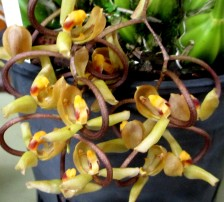 Gongora galeata 'Yellow Lip', gongora, orchids, cymbidium, cymbidium kimberly splash, tee pee, south east Melbourne, Melbourne, orchid clubs, orchid societies, OSCOV, orchid photos, orchid care, orchid pictures, orchid images, orchid shows, orchid newsletters, orchids on Facebook, orchids of Twitter, Moorabbin, Bentleigh, Brighton, Hampton, Sandringham, Black Rock, Beaumaris, Bayside Council, Bayside district, Kingston, Bayside Melbourne, SE Suburbs, Parkdale, Mordialloc, Carnegie, Cheltenham, McKinnon, Highett, Oakleigh, Clarinda, Heatherton, Clayton, Dingley, Elsternwick, Caulfield, Ormond, Glenhuntley, Murrumbeena,