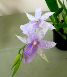 Miltonia (Belle Glade x regnellii) seedling, orchids, cymbidium, cymbidium kimberly splash, tee pee, south east Melbourne, Melbourne, orchid clubs, orchid societies, OSCOV, orchid photos, orchid care, orchid pictures, orchid images, orchid shows, orchid newsletters, orchids on Facebook, orchids of Twitter, Moorabbin, Bentleigh, Brighton, Hampton, Sandringham, Black Rock, Beaumaris, Bayside Council, Bayside district, Kingston, Bayside Melbourne, SE Suburbs, Parkdale, Mordialloc, Carnegie, Cheltenham, McKinnon, Highett, Oakleigh, Clarinda, Heatherton, Clayton, Dingley, Elsternwick, Caulfield, Ormond, Glenhuntley, Murrumbeena,