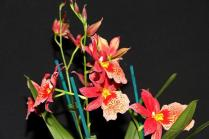 Oncidium HKNSA Lisa Hasegawg 'Glen', orchids, cymbidium, cymbidium kimberly splash, tee pee, south east Melbourne, Melbourne, orchid clubs, orchid societies, OSCOV, orchid photos, orchid care, orchid pictures, orchid images, orchid shows, orchid newsletters, orchids on Facebook, orchids of Twitter, Moorabbin, Bentleigh, Brighton, Hampton, Sandringham, Black Rock, Beaumaris, Bayside Council, Bayside district, Kingston, Bayside Melbourne, SE Suburbs, Parkdale, Mordialloc, Carnegie, Cheltenham, McKinnon, Highett, Oakleigh, Clarinda, Heatherton, Clayton, Dingley, Elsternwick, Caulfield, Ormond, Glenhuntley, Murrumbeena,