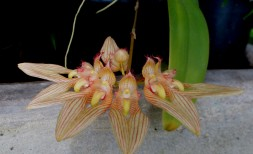 bulbophyllum annandellei, John Varigos orchid species collection @Central Park, Malvern, orchids, cymbidium, cymbidium kimberly splash, tee pee, south east Melbourne, Melbourne, orchid clubs, orchid societies, OSCOV, orchid photos, orchid care, orchid pictures, orchid images, orchid shows, orchid newsletters, orchids on Facebook, orchids of Twitter, Moorabbin, Bentleigh, Brighton, Hampton, Sandringham, Black Rock, Beaumaris, Bayside Council, Bayside district, Kingston, Bayside Melbourne, SE Suburbs, Parkdale, Mordialloc, Carnegie, Cheltenham, McKinnon, Highett, Oakleigh, Clarinda, Heatherton, Clayton, Dingley, Elsternwick, Caulfield, Ormond, Glenhuntley, Murrumbeena,