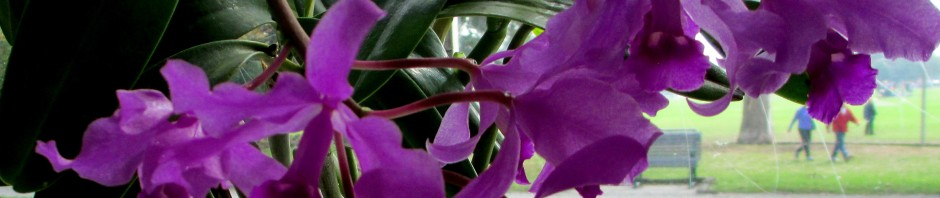 Cattleya bowringiana v violacea, John Varigos orchid species collection @Central Park, Malvern, orchids, cymbidium, cymbidium kimberly splash, tee pee, south east Melbourne, Melbourne, orchid clubs, orchid societies, OSCOV, orchid photos, orchid care, orchid pictures, orchid images, orchid shows, orchid newsletters, orchids on Facebook, orchids of Twitter, Moorabbin, Bentleigh, Brighton, Hampton, Sandringham, Black Rock, Beaumaris, Bayside Council, Bayside district, Kingston, Bayside Melbourne, SE Suburbs, Parkdale, Mordialloc, Carnegie, Cheltenham, McKinnon, Highett, Oakleigh, Clarinda, Heatherton, Clayton, Dingley, Elsternwick, Caulfield, Ormond, Glenhuntley, Murrumbeena,