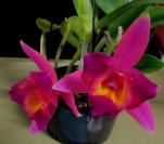 Cattleya Dream Cloud, orchids, cymbidium, cymbidium kimberly splash, tee pee, south east Melbourne, Melbourne, orchid clubs, orchid societies, OSCOV, orchid photos, orchid care, orchid pictures, orchid images, orchid shows, orchid newsletters, orchids on Facebook, orchids of Twitter, Moorabbin, Bentleigh, Brighton, Hampton, Sandringham, Black Rock, Beaumaris, Bayside Council, Bayside district, Kingston, Bayside Melbourne, SE Suburbs, Parkdale, Mordialloc, Carnegie, Cheltenham, McKinnon, Highett, Oakleigh, Clarinda, Heatherton, Clayton, Dingley, Elsternwick, Caulfield, Ormond, Glenhuntley, Murrumbeena,