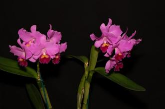 cattleya Portiata 'Mez' Reserve Champion SSOS Autumn Show 2018, orchids, cymbidium, cymbidium kimberly splash, tee pee, south east Melbourne, Melbourne, orchid clubs, orchid societies, OSCOV, orchid photos, orchid care, orchid pictures, orchid images, orchid shows, orchid newsletters, orchids on Facebook, orchids of Twitter, Moorabbin, Bentleigh, Brighton, Hampton, Sandringham, Black Rock, Beaumaris, Bayside Council, Bayside district, Kingston, Bayside Melbourne, SE Suburbs, Parkdale, Mordialloc, Carnegie, Cheltenham, McKinnon, Highett, Oakleigh, Clarinda, Heatherton, Clayton, Dingley, Elsternwick, Caulfield, Ormond, Glenhuntley, Murrumbeena,