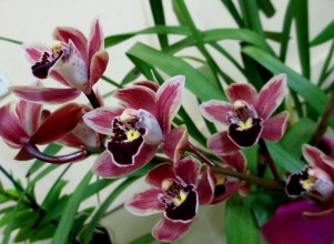 Cymbidium Pete's Fire 'Cute', orchids, cymbidium, cymbidium kimberly splash, tee pee, south east Melbourne, Melbourne, orchid clubs, orchid societies, OSCOV, orchid photos, orchid care, orchid pictures, orchid images, orchid shows, orchid newsletters, orchids on Facebook, orchids of Twitter, Moorabbin, Bentleigh, Brighton, Hampton, Sandringham, Black Rock, Beaumaris, Bayside Council, Bayside district, Kingston, Bayside Melbourne, SE Suburbs, Parkdale, Mordialloc, Carnegie, Cheltenham, McKinnon, Highett, Oakleigh, Clarinda, Heatherton, Clayton, Dingley, Elsternwick, Caulfield, Ormond, Glenhuntley, Murrumbeena,