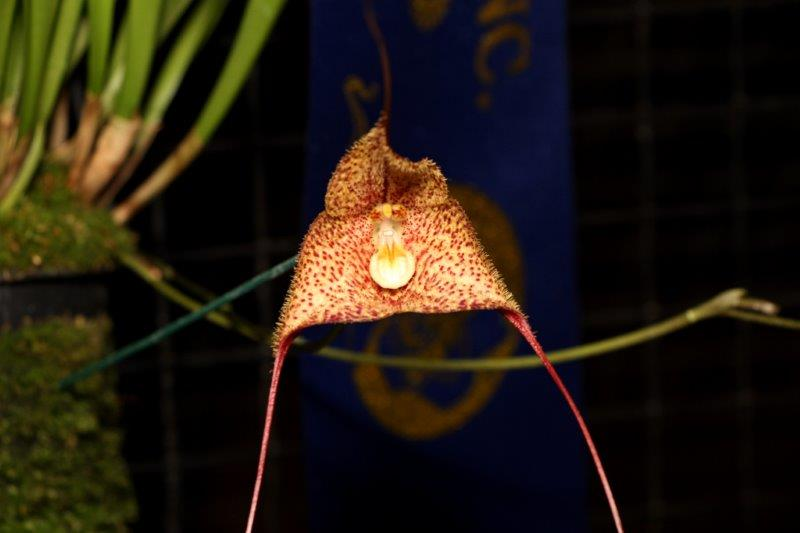 Dracula Wallisii Champion Masdevallia SSOS Autumn Show 2018, orchids, cymbidium, cymbidium kimberly splash, tee pee, south east Melbourne, Melbourne, orchid clubs, orchid societies, OSCOV, orchid photos, orchid care, orchid pictures, orchid images, orchid shows, orchid newsletters, orchids on Facebook, orchids of Twitter, Moorabbin, Bentleigh, Brighton, Hampton, Sandringham, Black Rock, Beaumaris, Bayside Council, Bayside district, Kingston, Bayside Melbourne, SE Suburbs, Parkdale, Mordialloc, Carnegie, Cheltenham, McKinnon, Highett, Oakleigh, Clarinda, Heatherton, Clayton, Dingley, Elsternwick, Caulfield, Ormond, Glenhuntley, Murrumbeena,