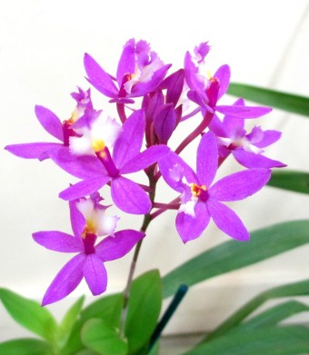 Epidendrum Ibaguense 'Mauve', orchids, cymbidium, cymbidium kimberly splash, tee pee, south east Melbourne, Melbourne, orchid clubs, orchid societies, OSCOV, orchid photos, orchid care, orchid pictures, orchid images, orchid shows, orchid newsletters, orchids on Facebook, orchids of Twitter, Moorabbin, Bentleigh, Brighton, Hampton, Sandringham, Black Rock, Beaumaris, Bayside Council, Bayside district, Kingston, Bayside Melbourne, SE Suburbs, Parkdale, Mordialloc, Carnegie, Cheltenham, McKinnon, Highett, Oakleigh, Clarinda, Heatherton, Clayton, Dingley, Elsternwick, Caulfield, Ormond, Glenhuntley, Murrumbeena,