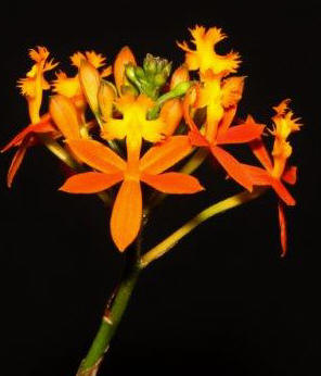 Epidendrum orange, orchids, cymbidium, cymbidium kimberly splash, tee pee, south east Melbourne, Melbourne, orchid clubs, orchid societies, OSCOV, orchid photos, orchid care, orchid pictures, orchid images, orchid shows, orchid newsletters, orchids on Facebook, orchids of Twitter, Moorabbin, Bentleigh, Brighton, Hampton, Sandringham, Black Rock, Beaumaris, Bayside Council, Bayside district, Kingston, Bayside Melbourne, SE Suburbs, Parkdale, Mordialloc, Carnegie, Cheltenham, McKinnon, Highett, Oakleigh, Clarinda, Heatherton, Clayton, Dingley, Elsternwick, Caulfield, Ormond, Glenhuntley, Murrumbeena,