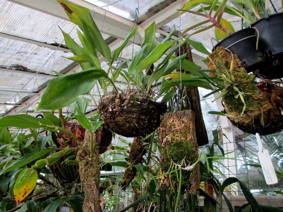 hanging stanhopeas, John Varigos orchid species collection @Central Park, Malvern, orchids, cymbidium, cymbidium kimberly splash, tee pee, south east Melbourne, Melbourne, orchid clubs, orchid societies, OSCOV, orchid photos, orchid care, orchid pictures, orchid images, orchid shows, orchid newsletters, orchids on Facebook, orchids of Twitter, Moorabbin, Bentleigh, Brighton, Hampton, Sandringham, Black Rock, Beaumaris, Bayside Council, Bayside district, Kingston, Bayside Melbourne, SE Suburbs, Parkdale, Mordialloc, Carnegie, Cheltenham, McKinnon, Highett, Oakleigh, Clarinda, Heatherton, Clayton, Dingley, Elsternwick, Caulfield, Ormond, Glenhuntley, Murrumbeena,