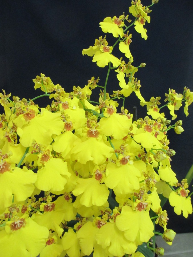 Oncidium Sweet Sugar, Champion Orchid Intermediate Section SSOS Autumn Show 2018, orchids, cymbidium, cymbidium kimberly splash, tee pee, south east Melbourne, Melbourne, orchid clubs, orchid societies, OSCOV, orchid photos, orchid care, orchid pictures, orchid images, orchid shows, orchid newsletters, orchids on Facebook, orchids of Twitter, Moorabbin, Bentleigh, Brighton, Hampton, Sandringham, Black Rock, Beaumaris, Bayside Council, Bayside district, Kingston, Bayside Melbourne, SE Suburbs, Parkdale, Mordialloc, Carnegie, Cheltenham, McKinnon, Highett, Oakleigh, Clarinda, Heatherton, Clayton, Dingley, Elsternwick, Caulfield, Ormond, Glenhuntley, Murrumbeena,