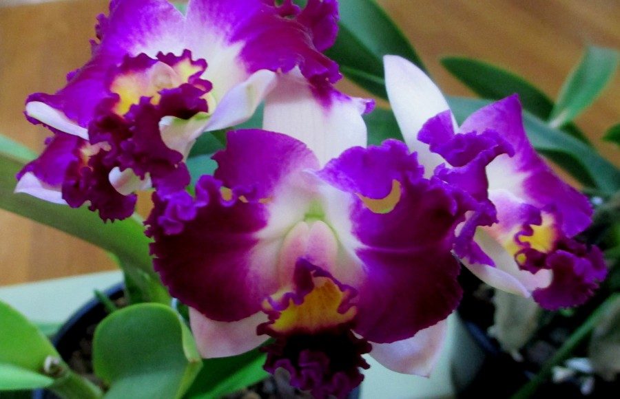 Cattleya LC Hsinying Excell, orchids, cymbidium, cymbidium kimberly splash, tee pee, south east Melbourne, Melbourne, orchid clubs, orchid societies, OSCOV, orchid photos, orchid care, orchid pictures, orchid images, orchid shows, orchid newsletters, orchids on Facebook, orchids of Twitter, Moorabbin, Bentleigh, Brighton, Hampton, Sandringham, Black Rock, Beaumaris, Bayside Council, Bayside district, Kingston, Bayside Melbourne, SE Suburbs, Parkdale, Mordialloc, Carnegie, Cheltenham, McKinnon, Highett, Oakleigh, Clarinda, Heatherton, Clayton, Dingley, Elsternwick, Caulfield, Ormond, Glenhuntley, Murrumbeena,
