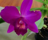 Cattleya Mahald Jack, orchids, cymbidium, cymbidium kimberly splash, tee pee, south east Melbourne, Melbourne, orchid clubs, orchid societies, OSCOV, orchid photos, orchid care, orchid pictures, orchid images, orchid shows, orchid newsletters, orchids on Facebook, orchids of Twitter, Moorabbin, Bentleigh, Brighton, Hampton, Sandringham, Black Rock, Beaumaris, Bayside Council, Bayside district, Kingston, Bayside Melbourne, SE Suburbs, Parkdale, Mordialloc, Carnegie, Cheltenham, McKinnon, Highett, Oakleigh, Clarinda, Heatherton, Clayton, Dingley, Elsternwick, Caulfield, Ormond, Glenhuntley, Murrumbeena,