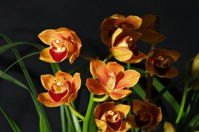 Cymbidium Enzan Shining x Royal Flame, orchids, cymbidium, cymbidium kimberly splash, tee pee, south east Melbourne, Melbourne, orchid clubs, orchid societies, OSCOV, orchid photos, orchid care, orchid pictures, orchid images, orchid shows, orchid newsletters, orchids on Facebook, orchids of Twitter, Moorabbin, Bentleigh, Brighton, Hampton, Sandringham, Black Rock, Beaumaris, Bayside Council, Bayside district, Kingston, Bayside Melbourne, SE Suburbs, Parkdale, Mordialloc, Carnegie, Cheltenham, McKinnon, Highett, Oakleigh, Clarinda, Heatherton, Clayton, Dingley, Elsternwick, Caulfield, Ormond, Glenhuntley, Murrumbeena,