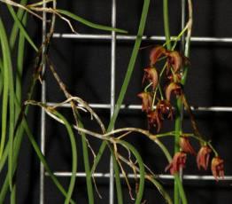 Dockrillia fulignosa x hepatica, orchids, cymbidium, cymbidium kimberly splash, tee pee, south east Melbourne, Melbourne, orchid clubs, orchid societies, OSCOV, orchid photos, orchid care, orchid pictures, orchid images, orchid shows, orchid newsletters, orchids on Facebook, orchids of Twitter, Moorabbin, Bentleigh, Brighton, Hampton, Sandringham, Black Rock, Beaumaris, Bayside Council, Bayside district, Kingston, Bayside Melbourne, SE Suburbs, Parkdale, Mordialloc, Carnegie, Cheltenham, McKinnon, Highett, Oakleigh, Clarinda, Heatherton, Clayton, Dingley, Elsternwick, Caulfield, Ormond, Glenhuntley, Murrumbeena,