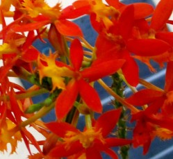 Epidendrum Orange Flame, orchids, cymbidium, cymbidium kimberly splash, tee pee, south east Melbourne, Melbourne, orchid clubs, orchid societies, OSCOV, orchid photos, orchid care, orchid pictures, orchid images, orchid shows, orchid newsletters, orchids on Facebook, orchids of Twitter, Moorabbin, Bentleigh, Brighton, Hampton, Sandringham, Black Rock, Beaumaris, Bayside Council, Bayside district, Kingston, Bayside Melbourne, SE Suburbs, Parkdale, Mordialloc, Carnegie, Cheltenham, McKinnon, Highett, Oakleigh, Clarinda, Heatherton, Clayton, Dingley, Elsternwick, Caulfield, Ormond, Glenhuntley, Murrumbeena,
