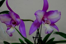 LC Interceps Cream Flash, orchids, cymbidium, cymbidium kimberly splash, tee pee, south east Melbourne, Melbourne, orchid clubs, orchid societies, OSCOV, orchid photos, orchid care, orchid pictures, orchid images, orchid shows, orchid newsletters, orchids on Facebook, orchids of Twitter, Moorabbin, Bentleigh, Brighton, Hampton, Sandringham, Black Rock, Beaumaris, Bayside Council, Bayside district, Kingston, Bayside Melbourne, SE Suburbs, Parkdale, Mordialloc, Carnegie, Cheltenham, McKinnon, Highett, Oakleigh, Clarinda, Heatherton, Clayton, Dingley, Elsternwick, Caulfield, Ormond, Glenhuntley, Murrumbeena,