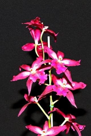 Beallara Marfitch 'Fire Phoenix', orchids, cymbidium, cymbidium kimberly splash, tee pee, south east Melbourne, Melbourne, orchid clubs, orchid societies, OSCOV, orchid photos, orchid care, orchid pictures, orchid images, orchid shows, orchid newsletters, orchids on Facebook, orchids of Twitter, Moorabbin, Bentleigh, Brighton, Hampton, Sandringham, Black Rock, Beaumaris, Bayside Council, Bayside district, Kingston, Bayside Melbourne, SE Suburbs, Parkdale, Mordialloc, Carnegie, Cheltenham, McKinnon, Highett, Oakleigh, Clarinda, Heatherton, Clayton, Dingley, Elsternwick, Caulfield, Ormond, Glenhuntley, Murrumbeena,