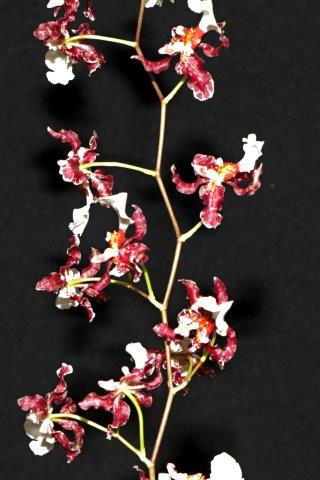 Oncidium Debonair, orchids, cymbidium, cymbidium kimberly splash, tee pee, south east Melbourne, Melbourne, orchid clubs, orchid societies, OSCOV, orchid photos, orchid care, orchid pictures, orchid images, orchid shows, orchid newsletters, orchids on Facebook, orchids of Twitter, Moorabbin, Bentleigh, Brighton, Hampton, Sandringham, Black Rock, Beaumaris, Bayside Council, Bayside district, Kingston, Bayside Melbourne, SE Suburbs, Parkdale, Mordialloc, Carnegie, Cheltenham, McKinnon, Highett, Oakleigh, Clarinda, Heatherton, Clayton, Dingley, Elsternwick, Caulfield, Ormond, Glenhuntley, Murrumbeena,
