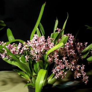 Oncidium sotoanum, orchids, cymbidium, cymbidium kimberly splash, tee pee, south east Melbourne, Melbourne, orchid clubs, orchid societies, OSCOV, orchid photos, orchid care, orchid pictures, orchid images, orchid shows, orchid newsletters, orchids on Facebook, orchids of Twitter, Moorabbin, Bentleigh, Brighton, Hampton, Sandringham, Black Rock, Beaumaris, Bayside Council, Bayside district, Kingston, Bayside Melbourne, SE Suburbs, Parkdale, Mordialloc, Carnegie, Cheltenham, McKinnon, Highett, Oakleigh, Clarinda, Heatherton, Clayton, Dingley, Elsternwick, Caulfield, Ormond, Glenhuntley, Murrumbeena,