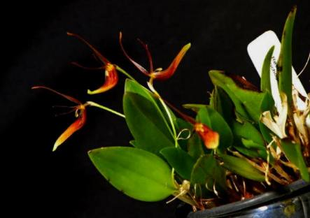 Restrepia trichogloss x striata, orchids, cymbidium, cymbidium kimberly splash, tee pee, south east Melbourne, Melbourne, orchid clubs, orchid societies, OSCOV, orchid photos, orchid care, orchid pictures, orchid images, orchid shows, orchid newsletters, orchids on Facebook, orchids of Twitter, Moorabbin, Bentleigh, Brighton, Hampton, Sandringham, Black Rock, Beaumaris, Bayside Council, Bayside district, Kingston, Bayside Melbourne, SE Suburbs, Parkdale, Mordialloc, Carnegie, Cheltenham, McKinnon, Highett, Oakleigh, Clarinda, Heatherton, Clayton, Dingley, Elsternwick, Caulfield, Ormond, Glenhuntley, Murrumbeena,