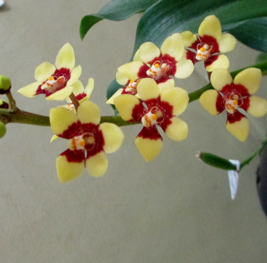 Sarcochilus Lara 'Red & Yellow', orchids, cymbidium, cymbidium kimberly splash, tee pee, south east Melbourne, Melbourne, orchid clubs, orchid societies, OSCOV, orchid photos, orchid care, orchid pictures, orchid images, orchid shows, orchid newsletters, orchids on Facebook, orchids of Twitter, Moorabbin, Bentleigh, Brighton, Hampton, Sandringham, Black Rock, Beaumaris, Bayside Council, Bayside district, Kingston, Bayside Melbourne, SE Suburbs, Parkdale, Mordialloc, Carnegie, Cheltenham, McKinnon, Highett, Oakleigh, Clarinda, Heatherton, Clayton, Dingley, Elsternwick, Caulfield, Ormond, Glenhuntley, Murrumbeena,