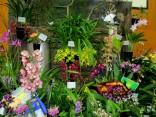 Cobden & District Orchid Club Display, Victorian Country Club Challenge 2018, orchids, cymbidium, cymbidium kimberly splash, tee pee, south east Melbourne, Melbourne, orchid clubs, orchid societies, OSCOV, orchid photos, orchid care, orchid pictures, orchid images, orchid shows, orchid newsletters, orchids on Facebook, orchids of Twitter, Moorabbin, Bentleigh, Brighton, Hampton, Sandringham, Black Rock, Beaumaris, Bayside Council, Bayside district, Kingston, Bayside Melbourne, SE Suburbs, Parkdale, Mordialloc, Carnegie, Cheltenham, McKinnon, Highett, Oakleigh, Clarinda, Heatherton, Clayton, Dingley, Elsternwick, Caulfield, Ormond, Glenhuntley, Murrumbeena