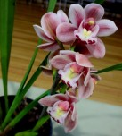 Cymbidium Little Sarah 'Fairy Wings', orchids, cymbidium, cymbidium kimberly splash, tee pee, south east Melbourne, Melbourne, orchid clubs, orchid societies, OSCOV, orchid photos, orchid care, orchid pictures, orchid images, orchid shows, orchid newsletters, orchids on Facebook, orchids of Twitter, Moorabbin, Bentleigh, Brighton, Hampton, Sandringham, Black Rock, Beaumaris, Bayside Council, Bayside district, Kingston, Bayside Melbourne, SE Suburbs, Parkdale, Mordialloc, Carnegie, Cheltenham, McKinnon, Highett, Oakleigh, Clarinda, Heatherton, Clayton, Dingley, Elsternwick, Caulfield, Ormond, Glenhuntley, Murrumbeena,