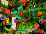 Geelong Orchid & Indoor Plant Cub's Masdevallias, Victorian Country Club Challenge 2018, orchids, cymbidium, cymbidium kimberly splash, tee pee, south east Melbourne, Melbourne, orchid clubs, orchid societies, OSCOV, orchid photos, orchid care, orchid pictures, orchid images, orchid shows, orchid newsletters, orchids on Facebook, orchids of Twitter, Moorabbin, Bentleigh, Brighton, Hampton, Sandringham, Black Rock, Beaumaris, Bayside Council, Bayside district, Kingston, Bayside Melbourne, SE Suburbs, Parkdale, Mordialloc, Carnegie, Cheltenham, McKinnon, Highett, Oakleigh, Clarinda, Heatherton, Clayton, Dingley, Elsternwick, Caulfield, Ormond, Glenhuntley, Murrumbeena