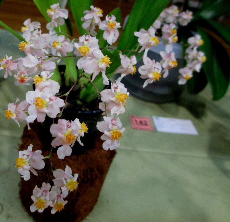 Oncidium Twinkle 'Romantic Fantasy', orchids, cymbidium, cymbidium kimberly splash, tee pee, south east Melbourne, Melbourne, orchid clubs, orchid societies, OSCOV, orchid photos, orchid care, orchid pictures, orchid images, orchid shows, orchid newsletters, orchids on Facebook, orchids of Twitter, Moorabbin, Bentleigh, Brighton, Hampton, Sandringham, Black Rock, Beaumaris, Bayside Council, Bayside district, Kingston, Bayside Melbourne, SE Suburbs, Parkdale, Mordialloc, Carnegie, Cheltenham, McKinnon, Highett, Oakleigh, Clarinda, Heatherton, Clayton, Dingley, Elsternwick, Caulfield, Ormond, Glenhuntley, Murrumbeena,
