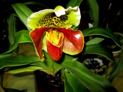 Paphiopedilum In-Charm x Hung Sheng Tiger Cat, orchids, cymbidium, cymbidium kimberly splash, tee pee, south east Melbourne, Melbourne, orchid clubs, orchid societies, OSCOV, orchid photos, orchid care, orchid pictures, orchid images, orchid shows, orchid newsletters, orchids on Facebook, orchids of Twitter, Moorabbin, Bentleigh, Brighton, Hampton, Sandringham, Black Rock, Beaumaris, Bayside Council, Bayside district, Kingston, Bayside Melbourne, SE Suburbs, Parkdale, Mordialloc, Carnegie, Cheltenham, McKinnon, Highett, Oakleigh, Clarinda, Heatherton, Clayton, Dingley, Elsternwick, Caulfield, Ormond, Glenhuntley, Murrumbeena,