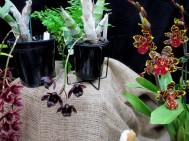 Sale & District Orchid Club's Cymbidium After Midnight, Victorian Country Club Challenge 2018, orchids, cymbidium, cymbidium kimberly splash, tee pee, south east Melbourne, Melbourne, orchid clubs, orchid societies, OSCOV, orchid photos, orchid care, orchid pictures, orchid images, orchid shows, orchid newsletters, orchids on Facebook, orchids of Twitter, Moorabbin, Bentleigh, Brighton, Hampton, Sandringham, Black Rock, Beaumaris, Bayside Council, Bayside district, Kingston, Bayside Melbourne, SE Suburbs, Parkdale, Mordialloc, Carnegie, Cheltenham, McKinnon, Highett, Oakleigh, Clarinda, Heatherton, Clayton, Dingley, Elsternwick, Caulfield, Ormond, Glenhuntley, Murrumbeena