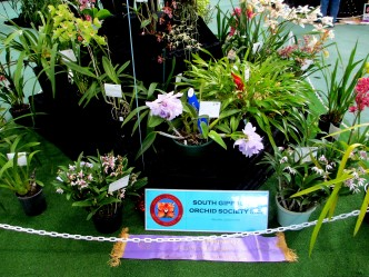 South Gippsland Orchid Society display, OSCOV Show, Melbourne Orchid Spectacular, orchids, cymbidium, cymbidium kimberly splash, tee pee, south east Melbourne, Melbourne, orchid clubs, orchid societies, OSCOV, orchid photos, orchid care, orchid pictures, orchid images, orchid shows, orchid newsletters, orchids on Facebook, orchids of Twitter, Moorabbin, Bentleigh, Brighton, Hampton, Sandringham, Black Rock, Beaumaris, Bayside Council, Bayside district, Kingston, Bayside Melbourne, SE Suburbs, Parkdale, Mordialloc, Carnegie, Cheltenham, McKinnon, Highett, Oakleigh, Clarinda, Heatherton, Clayton, Dingley, Elsternwick, Caulfield, Ormond, Glenhuntley, Murrumbeena