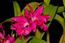 Cattleya Rosedrop, orchids, cymbidium, cymbidium kimberly splash, tee pee, south east Melbourne, Melbourne, orchid clubs, orchid societies, OSCOV, orchid photos, orchid care, orchid pictures, orchid images, orchid shows, orchid newsletters, orchids on Facebook, orchids of Twitter, Moorabbin, Bentleigh, Brighton, Hampton, Sandringham, Black Rock, Beaumaris, Bayside Council, Bayside district, Kingston, Bayside Melbourne, SE Suburbs, Parkdale, Mordialloc, Carnegie, Cheltenham, McKinnon, Highett, Oakleigh, Clarinda, Heatherton, Clayton, Dingley, Elsternwick, Caulfield, Ormond, Glenhuntley, Murrumbeena,