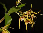 Dendrobium Star of Gold, orchids, cymbidium, cymbidium kimberly splash, tee pee, south east Melbourne, Melbourne, orchid clubs, orchid societies, OSCOV, orchid photos, orchid care, orchid pictures, orchid images, orchid shows, orchid newsletters, orchids on Facebook, orchids of Twitter, Moorabbin, Bentleigh, Brighton, Hampton, Sandringham, Black Rock, Beaumaris, Bayside Council, Bayside district, Kingston, Bayside Melbourne, SE Suburbs, Parkdale, Mordialloc, Carnegie, Cheltenham, McKinnon, Highett, Oakleigh, Clarinda, Heatherton, Clayton, Dingley, Elsternwick, Caulfield, Ormond, Glenhuntley, Murrumbeena,