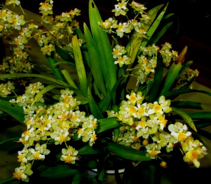 Oncidium Twinkle 'Yellow Fantasy', orchids, cymbidium, cymbidium kimberly splash, tee pee, south east Melbourne, Melbourne, orchid clubs, orchid societies, OSCOV, orchid photos, orchid care, orchid pictures, orchid images, orchid shows, orchid newsletters, orchids on Facebook, orchids of Twitter, Moorabbin, Bentleigh, Brighton, Hampton, Sandringham, Black Rock, Beaumaris, Bayside Council, Bayside district, Kingston, Bayside Melbourne, SE Suburbs, Parkdale, Mordialloc, Carnegie, Cheltenham, McKinnon, Highett, Oakleigh, Clarinda, Heatherton, Clayton, Dingley, Elsternwick, Caulfield, Ormond, Glenhuntley, Murrumbeena,