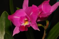 LC Australian Frangipani 'Monster Flame', orchids, cymbidium, cymbidium kimberly splash, tee pee, south east Melbourne, Melbourne, orchid clubs, orchid societies, OSCOV, orchid photos, orchid care, orchid pictures, orchid images, orchid shows, orchid newsletters, orchids on Facebook, orchids of Twitter, Moorabbin, Bentleigh, Brighton, Hampton, Sandringham, Black Rock, Beaumaris, Bayside Council, Bayside district, Kingston, Bayside Melbourne, SE Suburbs, Parkdale, Mordialloc, Carnegie, Cheltenham, McKinnon, Highett, Oakleigh, Clarinda, Heatherton, Clayton, Dingley, Elsternwick, Caulfield, Ormond, Glenhuntley, Murrumbeena,