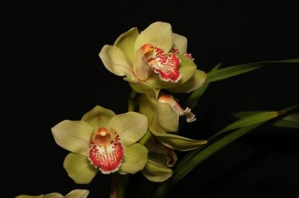 Cymbidium Emerald Glory Sleeping Nymph 'Fuji', orchids, cymbidium, cymbidium kimberly splash, tee pee, south east Melbourne, Melbourne, orchid clubs, orchid societies, OSCOV, orchid photos, orchid care, orchid pictures, orchid images, orchid shows, orchid newsletters, orchids on Facebook, orchids of Twitter, Moorabbin, Bentleigh, Brighton, Hampton, Sandringham, Black Rock, Beaumaris, Bayside Council, Bayside district, Kingston, Bayside Melbourne, SE Suburbs, Parkdale, Mordialloc, Carnegie, Cheltenham, McKinnon, Highett, Oakleigh, Clarinda, Heatherton, Clayton, Dingley, Elsternwick, Caulfield, Ormond, Glenhuntley, Murrumbeena,