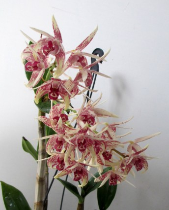 Dendrobium Aussie Child 'Sydenham' x Jazz Red Lip, orchids, cymbidium, cymbidium kimberly splash, tee pee, south east Melbourne, Melbourne, orchid clubs, orchid societies, OSCOV, orchid photos, orchid care, orchid pictures, orchid images, orchid shows, orchid newsletters, orchids on Facebook, orchids of Twitter, Moorabbin, Bentleigh, Brighton, Hampton, Sandringham, Black Rock, Beaumaris, Bayside Council, Bayside district, Kingston, Bayside Melbourne, SE Suburbs, Parkdale, Mordialloc, Carnegie, Cheltenham, McKinnon, Highett, Oakleigh, Clarinda, Heatherton, Clayton, Dingley, Elsternwick, Caulfield, Ormond, Glenhuntley, Murrumbeena,
