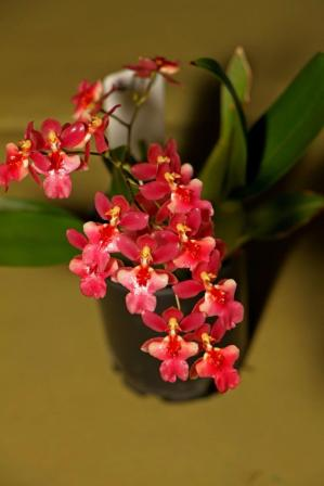 Oncidesa Possum Woolf, orchids, cymbidium, cymbidium kimberly splash, tee pee, south east Melbourne, Melbourne, orchid clubs, orchid societies, OSCOV, orchid photos, orchid care, orchid pictures, orchid images, orchid shows, orchid newsletters, orchids on Facebook, orchids of Twitter, Moorabbin, Bentleigh, Brighton, Hampton, Sandringham, Black Rock, Beaumaris, Bayside Council, Bayside district, Kingston, Bayside Melbourne, SE Suburbs, Parkdale, Mordialloc, Carnegie, Cheltenham, McKinnon, Highett, Oakleigh, Clarinda, Heatherton, Clayton, Dingley, Elsternwick, Caulfield, Ormond, Glenhuntley, Murrumbeena,