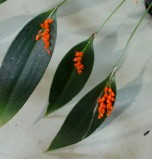 Pleurothallis truncata, orchids, cymbidium, cymbidium kimberly splash, tee pee, south east Melbourne, Melbourne, orchid clubs, orchid societies, OSCOV, orchid photos, orchid care, orchid pictures, orchid images, orchid shows, orchid newsletters, orchids on Facebook, orchids of Twitter, Moorabbin, Bentleigh, Brighton, Hampton, Sandringham, Black Rock, Beaumaris, Bayside Council, Bayside district, Kingston, Bayside Melbourne, SE Suburbs, Parkdale, Mordialloc, Carnegie, Cheltenham, McKinnon, Highett, Oakleigh, Clarinda, Heatherton, Clayton, Dingley, Elsternwick, Caulfield, Ormond, Glenhuntley, Murrumbeena,
