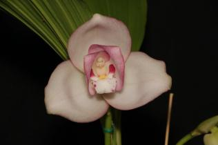 orchids, cymbidium, cymbidium kimberly splash, tee pee, south east Melbourne, Melbourne, orchid clubs, orchid societies, OSCOV, orchid photos, orchid care, orchid pictures, orchid images, orchid shows, orchid newsletters, orchids on Facebook, orchids of Twitter, Moorabbin, Bentleigh, Brighton, Hampton, Sandringham, Black Rock, Beaumaris, Bayside Council, Bayside district, Kingston, Bayside Melbourne, SE Suburbs, Parkdale, Mordialloc, Carnegie, Cheltenham, McKinnon, Highett, Oakleigh, Clarinda, Heatherton, Clayton, Dingley, Elsternwick, Caulfield, Ormond, Glenhuntley, Murrumbeena,