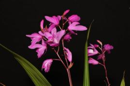Bletilla striata orchids, cymbidium, cymbidium kimberly splash, tee pee, south east Melbourne, Melbourne, orchid clubs, orchid societies, OSCOV, orchid photos, orchid care, orchid pictures, orchid images, orchid shows, orchid newsletters, orchids on Facebook, orchids of Twitter, Moorabbin, Bentleigh, Brighton, Hampton, Sandringham, Black Rock, Beaumaris, Bayside Council, Bayside district, Kingston, Bayside Melbourne, SE Suburbs, Parkdale, Mordialloc, Carnegie, Cheltenham, McKinnon, Highett, Oakleigh, Clarinda, Heatherton, Clayton, Dingley, Elsternwick, Caulfield, Ormond, Glenhuntley, Murrumbeena,